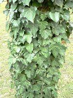 Home Remedy per Killing veleno Piante Ivy