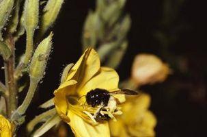 Repellenti naturali per xylocopa