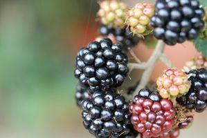 Varietà Pennsylvania Blackberry