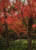 Posso Trim mio giapponese albero di acero con Trimmer elettrici?