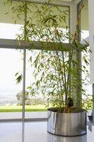 Perché il mio pianta di bambù Avere funghi che crescono in esso?