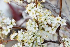 Come coltivare alberi autoctoni Plum