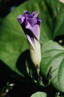 Come coltivare Moonflowers & Primrose