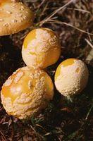 Procedure di funghi di coltivazione