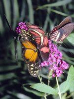 Sarà una farfalla Bush crescono nella zona Denton in Texas del nord?