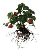 Quanto tempo per le piante sospeso radice nuda fragola a germogliare?