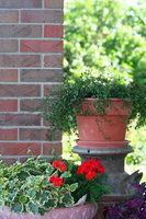 Hardy arbusti sempreverdi nane che si svilupperà in contenitori