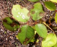 Quali sono le cause macchie nere sul cespuglio di rose foglie?