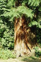 Germogli che crescono sotto alberi di cedro