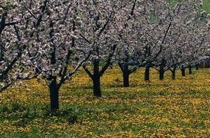 Come e quando potare alberi da frutto e Come per l'inverno Them