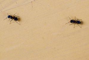 Modi per uccidere le formiche in casa tua