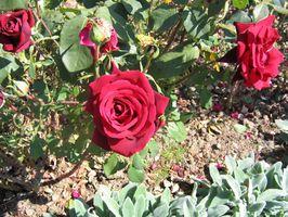 Quando tagliare di nuovo Roses in Oregon?