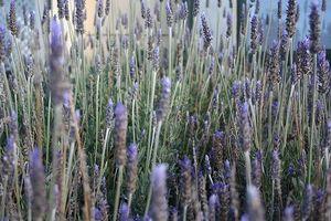 Il posto migliore per Lavender impianto