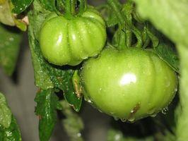 Cosa devo fare per le piante di pomodoro, se le foglie ingialliscono & Brown?