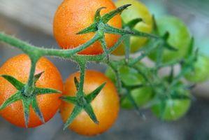 Le cause di macchie bianche Piccolo su piante di pomodoro