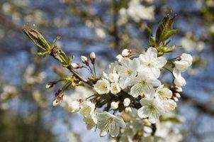 Alberi di ciliegie acide che crescerà a Pensacola, Florida