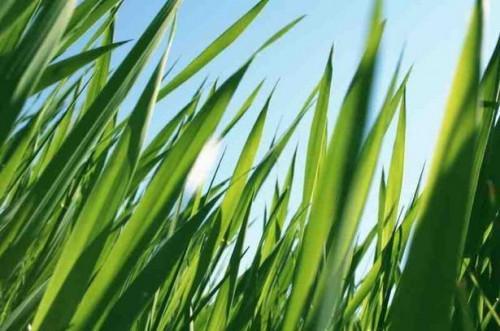 Come crescere erba sopra la fossa settica