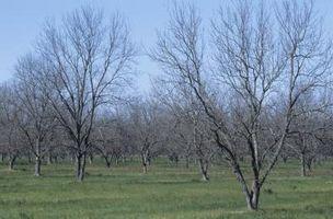 Informazioni su di un Pecan Tree Mahan