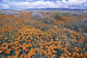 Identificazione California Poppy
