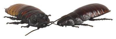Come usare acido borico per uccidere scarafaggi