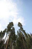 Che cosa fate quando la parte superiore del tronco di un albero di abete rosso muore?