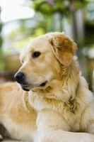 Sono regina Palma Noci velenoso per i cani?