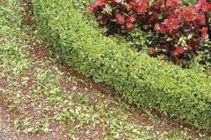 Compact latifoglie arbusti sempreverdi