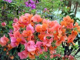 Come usare Bougainvillea per Flower Landscaping