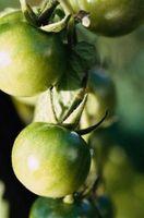 Macchie scure sul fondo di pomodori