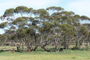 Insetti che sono attratti l'albero di eucalipto