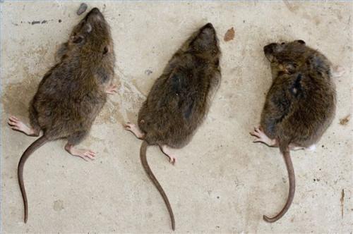 Home rimedi per sbarazzarsi di Ratti