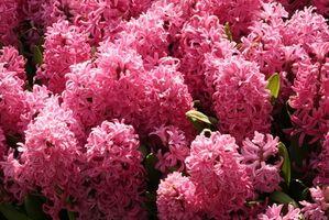 Quando Pianta da fiori Giacinti?