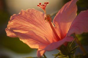 Insetti farinosi su Hibiscus Piante in Houston, Texas