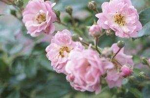I miei variegata rosa foglie si stanno rivolgendo giallo