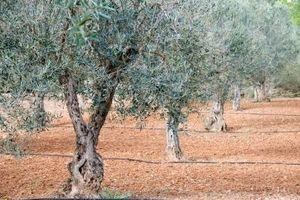Come coltivare Olive Seeds