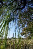 Salice piangente alberi con le foglie gialle