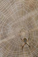 Ragni comune nelle case