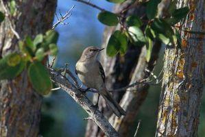 Che uccelli mangiano Liquidambar Tree Fruit?