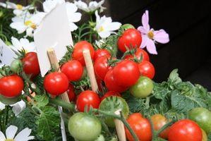 La mia pianta di pomodori ha fiori ma nessuno pomodori