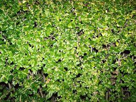 Fertilizzante per una siepe di ligustro