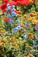 Come diretta seminare fiori