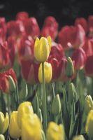 Quanto tempo per crescere un tulipano?