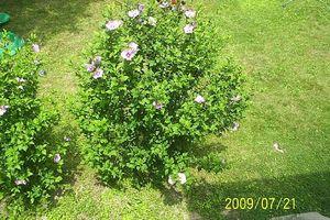 Come spostare una Rosa di Sharon Bush o albero mentre proteggere le radici