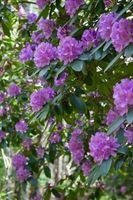 Malattie Rhododendron