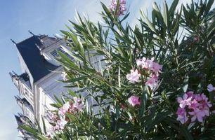 Come alto Bush Do Oleander di fioritura ottenere?