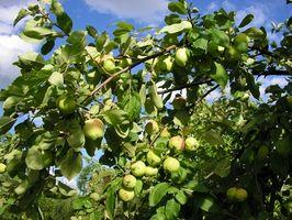 Come tagliare gli alberi di Apple