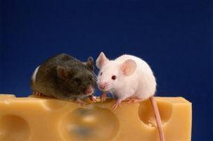 Il modo migliore per sbarazzarsi di topi