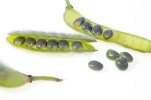 Requisiti per Lima Bean germinazione dei semi