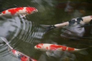 Come installare un giardino stagno di pesci