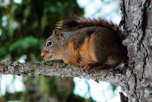 Come recuperare uno scoiattolo da un camino